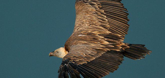 birdwatching a bosa lungo il volo dei grifoni